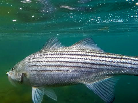 Striped bass fishing tips with flannel fishermen for Striped bass fishing tips